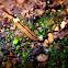 Striped Hammerhead Flatworm
