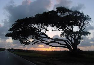 Photo: beautiful old tree. along the via blanca. cuba. Tracey Eaton photo.