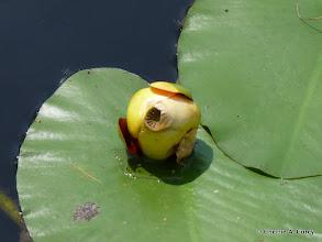 Photo: Bullhead lily