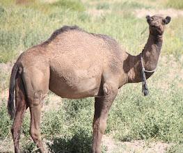 Photo: Day 160 - A Different Herd of Camels
