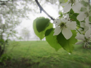 Photo: Pear blossoms and lake in the rain at Eastwood Park in Dayton, Ohio.