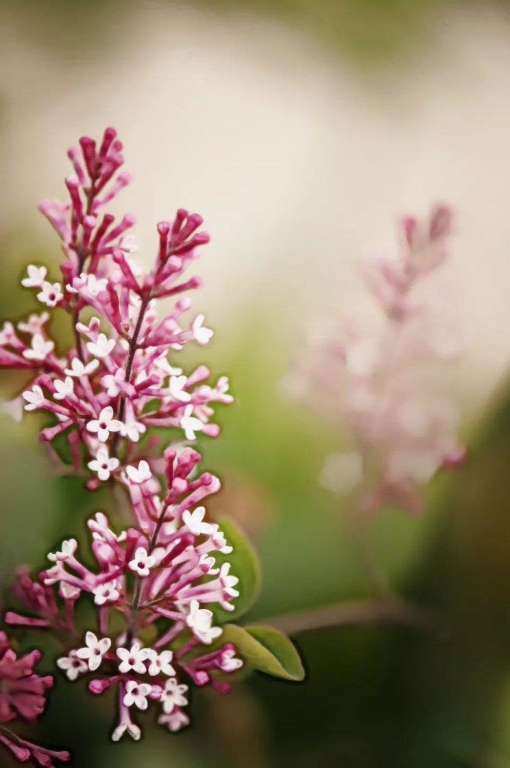 Your Guide to Growing & Caring for Lilac Bushes 5