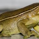 Milk Frog / Perereca-Leiteira