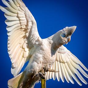 Balancing Corella by Brent McKee - Animals Birds ( little corella, bird, corella, cockatoo, cacatua sanguinea, fuji x-t1 )