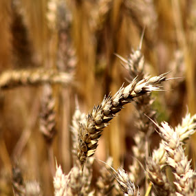 wheat by Miroslav Bičanić - Nature Up Close Gardens & Produce ( wheat, bread, food, summer, harvest, ready )