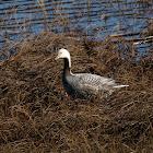 Emporer Goose