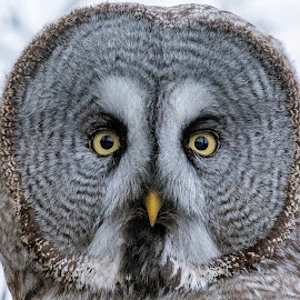 Gray Owl by Mats Andersson - Animals Birds ( bird portrait, beak, owl, bird of prey, bird, yellow, yellow eyes, gray owl, intensiv look, yellow beak, eyes,  )