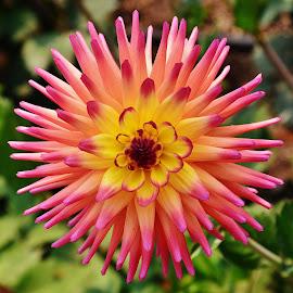 Dahlia by Thomas Barr - Flowers Single Flower (  )