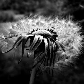 Shadows (dandelion) by Dalibor Davidovic - Black & White Flowers & Plants ( dandelion, black and white, plants,  )
