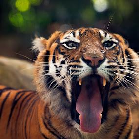 Do My Teeth Look OK? by Gary Tindale - Animals Lions, Tigers & Big Cats ( big cat, perth, tiger, zoo, teeth, yawn,  )