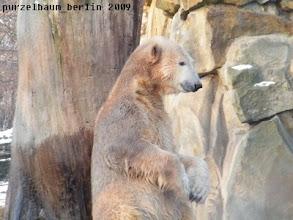 Photo: Gibt Knut eben den Imponierbaer :-)