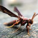 Grape Root Borer Moth