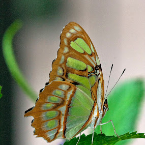Malachite! by Manuel Balesteri - Animals Insects & Spiders ( butterfly, fly, green, wings, white, antennae, brown, leaf, insect )