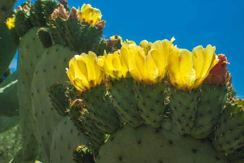 Fiori di cactus di Pinco_Pallino