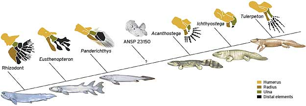 How fins evolved into feet - Technology & science - Science ...