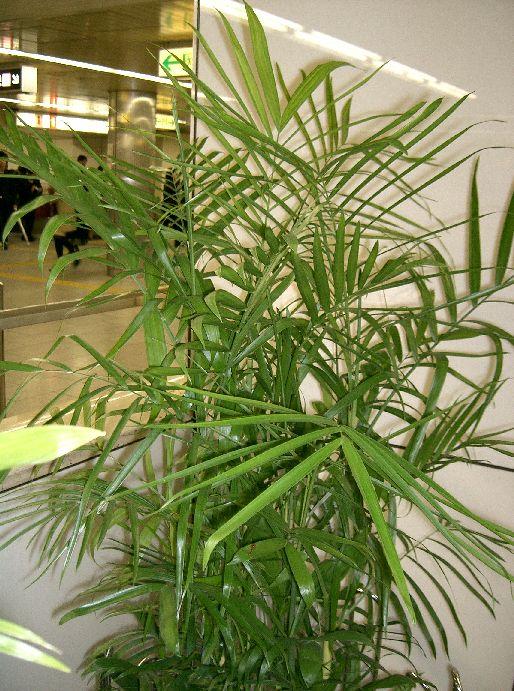 Chamaedorea seifrizii7.jpg