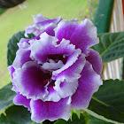 Gloxinia (Florists Gloxinia, Tuberous Gloxinia)
