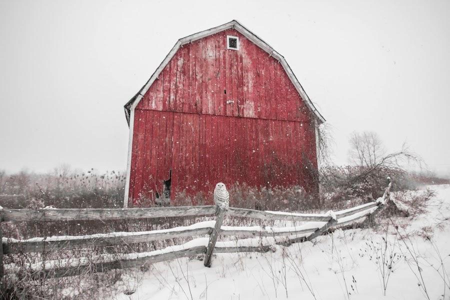 Snowy Owl by Jason Holden - Uncategorized All Uncategorized ( michigan, fence, red, winter, barn, snow, rustic, snowy owl )