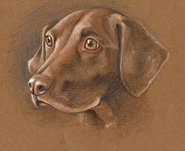Photo: Lucky the Chocolate Lab