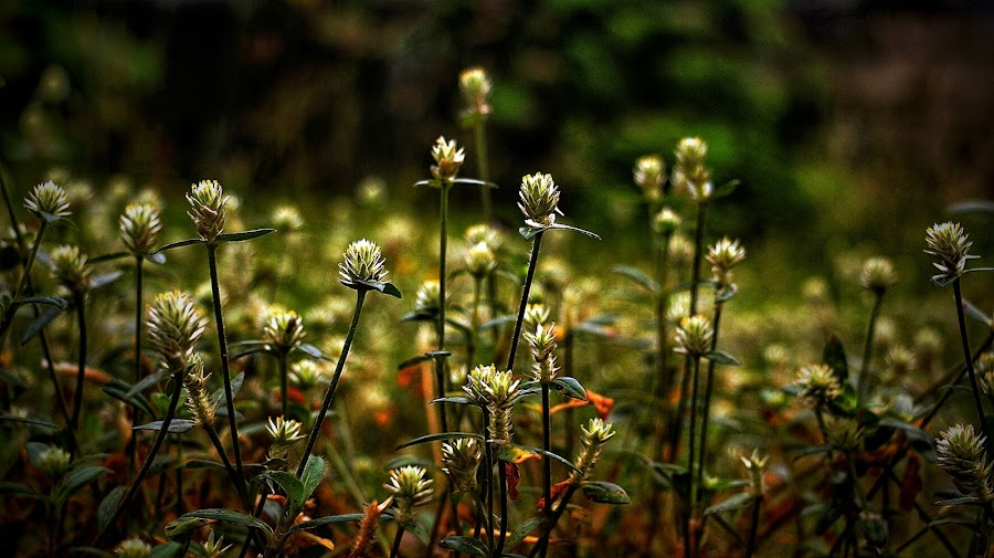 Grass Flower by Frans Priyo - Nature Up Close Leaves & Grasses ( nature, grass, flowers, garden, flower )