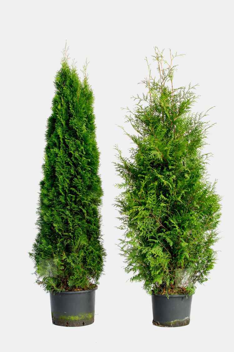 Thuja Brabant Plantering Tips (+Gratis Guide)