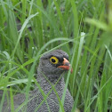 red billed spur fowl