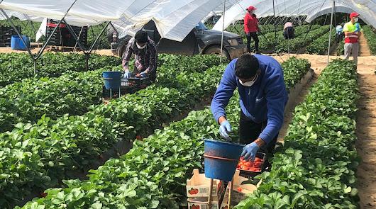 Almería, sin problemas para la mano de obra en la agricultura