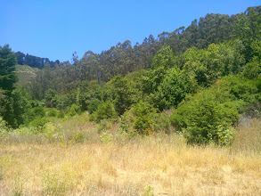 Photo: UC Berkeley would like to do the same for the stunted native understory beneath the eucalypti seen here in the background.