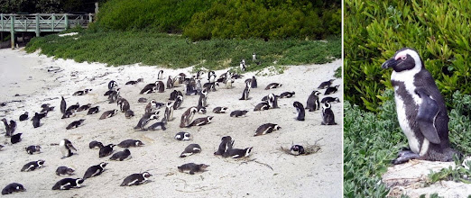 Photo: South African penguins at Boulder Beach. (For comparison, photos of penguins from our 2009 trip to Patagonia: https://www.flickr.com/photos/rodneyhoffman/sets/72157623015982431/ )