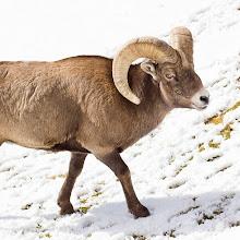 Photo: Big Ram