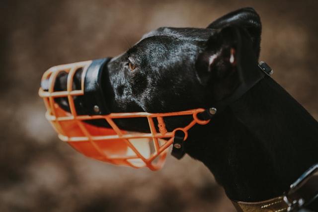 Large black dog in wearing a dog muzzle
