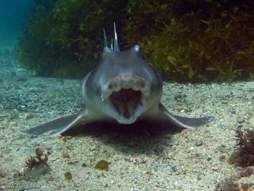 Photo: A Port Jackson shark (Heterodontus portusjacksoni) shows off its dentition. Fairy Bower, Manly, NSW