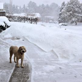 I Like the Snow by Tony Huffaker - Animals - Dogs Portraits ( watch, snow, animal, winter, dog )
