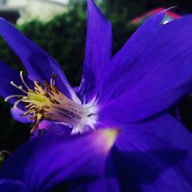 Columbine #Clarendon #columbine #purple columbine #delicate flowers #perennials by Debbie Squier-Bernst - Uncategorized All Uncategorized (  )