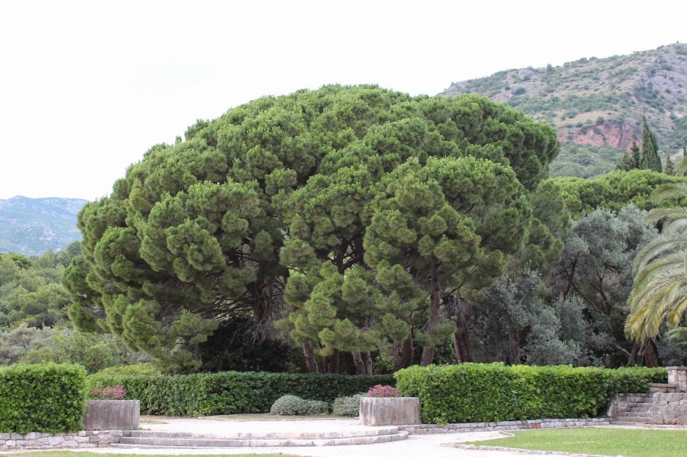 сосновые деревья в милочере