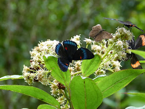 Photo: BLUE-BORDERED (BELLONA) METALMARK, m & f, & BOLLA SPECIES AT FLOWERS --TRACK TO SAN ISIDRO