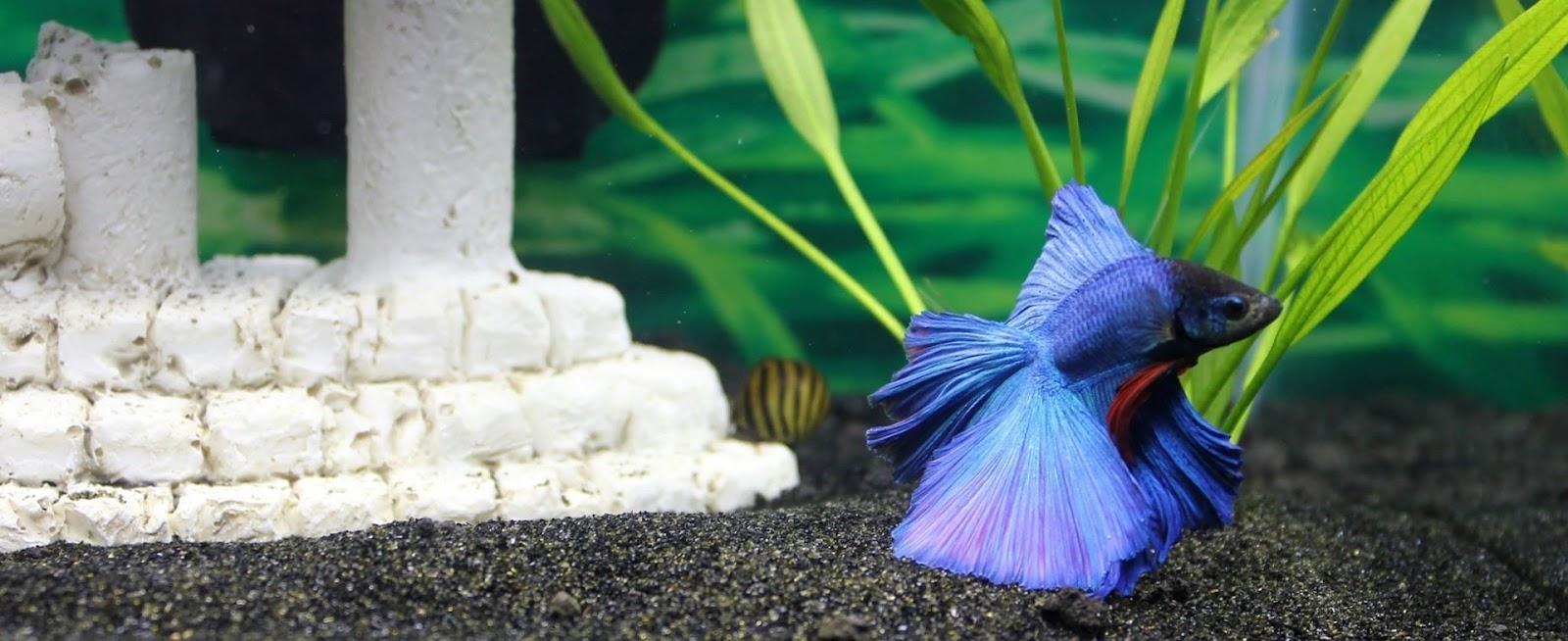 Betta with aquarium décor