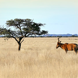 Red Hartebeest by Pieter J de Villiers - Animals Other