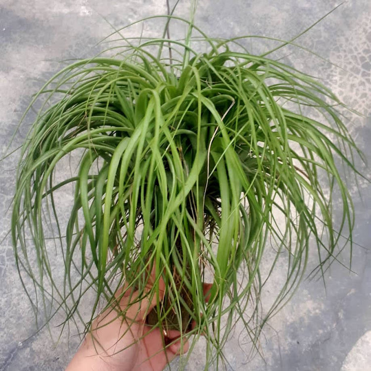 Tillandsia Brachycaulos Selected Clump by AquaticsForevers Enterprise