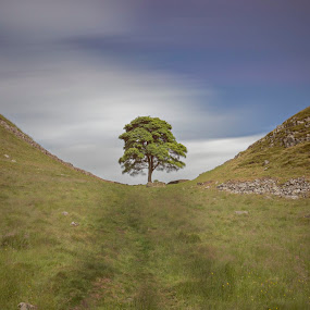Sycamore Tree by Lee Sutton - Landscapes Prairies, Meadows & Fields