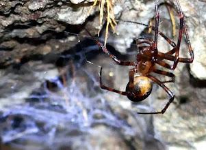 Photo: Barlangi keresztespók ( Meta menardi) a Szentendrei-barlangban.