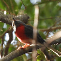 Rose Robin, Male