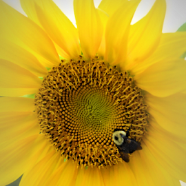 Sunflower by Teresa Wooles - Flowers Single Flower ( yellow, yellow flower, sunflower )