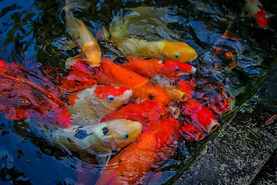 Feeding time by Ruth Sano - Animals Fish ( water, orange, potography, carp, colorful, fish, pond,  )