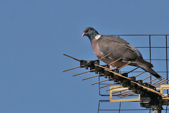 Photo: Common Wood-Pigeon