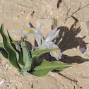 Tovia's iris