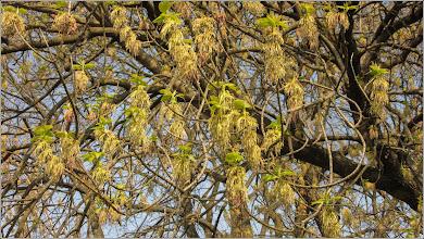 Photo: Artar American (Acer negundo) , Turda, Calea Victoriei, Micro. 1 - 2019.04.02