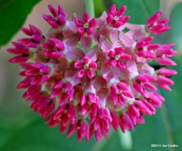 Photo: Purple milkweed.
