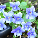 Common dog-violet; Violeta de monte