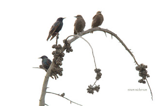 Photo: Juvenile and Adult Starlings